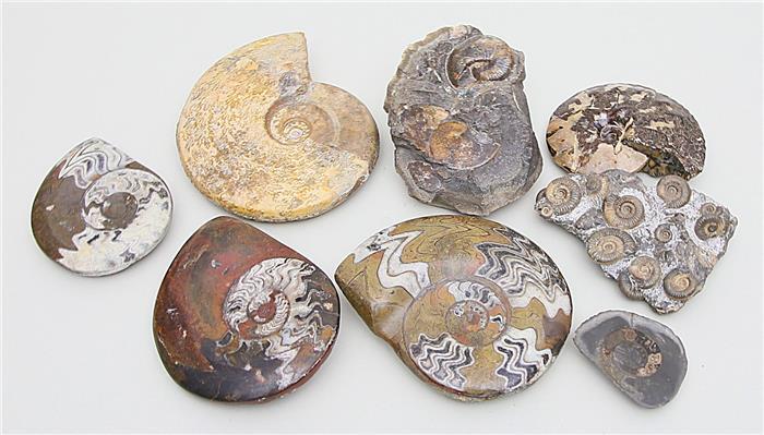 Acht große Ammoniten,
